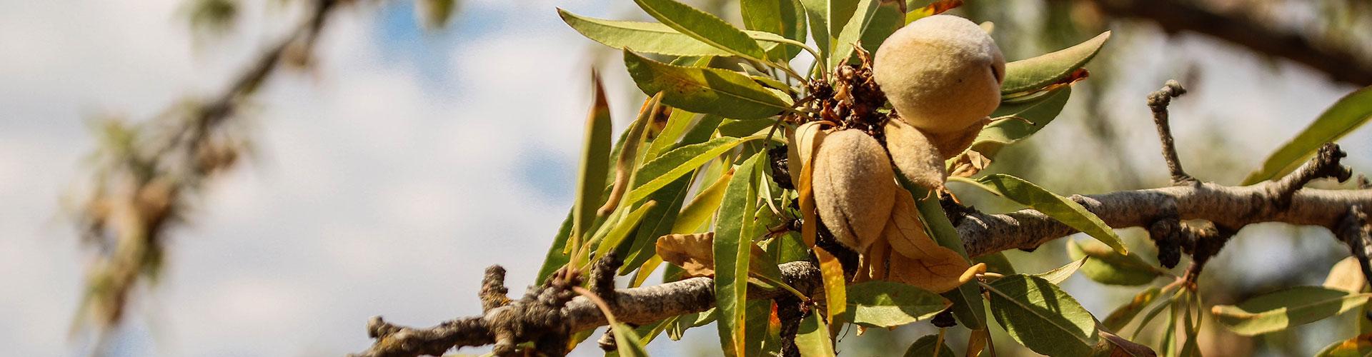 Foto albero di mandorle